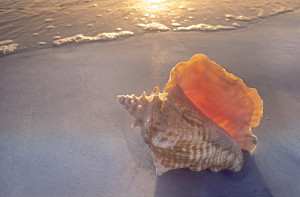 conch-shell-on-a-beach-in-the-sunsetflorida--contrast-warm-filter-best-3-saturated